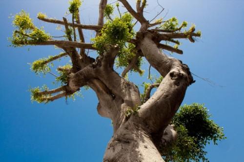 tree in Yafo