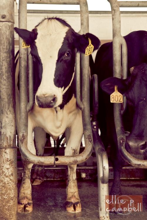 Dakin Dairy Farms